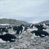 Adelie penguin. Incubating adults. Hop Island, Prydz Bay, Antarctica, November 1989. Image © Colin Miskelly by Colin Miskelly