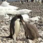 Adelie penguin. Adult feeding chick. Paulet Island, Antarctic Peninsula, January 2016. Image © Rebecca Bowater  by Rebecca Bowater FPSNZ AFIAP www.floraandfauna.co.nz