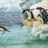Adelie penguin. Adults entering the ocean. Franklin Island, Antarctica, January 2018. Image © Mark Lethlean by Mark Lethlean