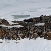 Adelie penguin. Breeding colony. Tokarev Island, Haswell archipelago, East Antarctica, January 2015. Image © Sergey Golubev by Sergey Golubev