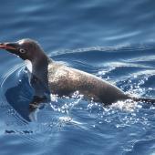 Adelie penguin. Adult swimming. Sea of Cosmonauts, Southern Indian Ocean, December 2014. Image © Sergey Golubev by Sergey Golubev