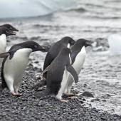 Adelie penguin. Adults ready to dive into the sea. Brown Bluff, Antarctic Sound, January 2016. Image © Rebecca Bowater  by Rebecca Bowater FPSNZ AFIAP www.floraandfauna.co.nz