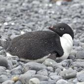 Adelie penguin. Adult lying on ground. Brown Bluff, Antarctic Sound, January 2016. Image © Rebecca Bowater  by Rebecca Bowater FPSNZ AFIAP www.floraandfauna.co.nz