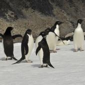 Adelie penguin. Adults on sea-ice. Paulet Island, Antarctic Peninsula, January 2016. Image © Rebecca Bowater  by Rebecca Bowater FPSNZ AFIAP www.floraandfauna.co.nz
