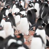 Gentoo penguin. Adults at breeding colony. Cuverville Island, Antarctic Peninsula, November 2019. Image © Mark Lethlean by Mark Lethlean