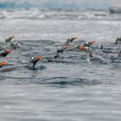 Gentoo penguin. Adults swimming. Orne Harbour, Antarctic Peninsula, November 2019. Image © Mark Lethlean by Mark Lethlean