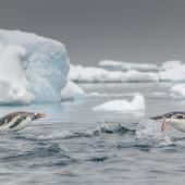 Gentoo penguin. Adults porpoising. Orne Harbour, Antarctic Peninsula, November 2019. Image © Mark Lethlean by Mark Lethlean