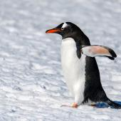 Gentoo penguin. Adult walking. South Shetland Islands, Antarctica, November 2019. Image © Mark Lethlean by Mark Lethlean