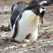 Gentoo penguin. Adult at nest, showing egg and brood patch. Grave Cove, Falkland Islands, December 2015. Image © Cyril Vathelet by Cyril Vathelet