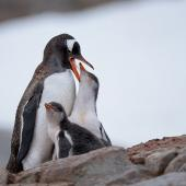 Gentoo penguin. Adult feeding chicks on nest. Petermann Island, Antarctic Peninsula, February 2015. Image © Tony Whitehead by Tony Whitehead www.wildlight.co.nz