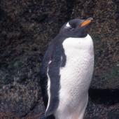 Gentoo penguin. Adult. Antipodes Island. Image © Terry Greene by Terry Greene
