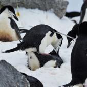 Chinstrap penguin. Fake copulation. Robert Island, Antarctica, December 2015. Image © Cyril Vathelet by Cyril Vathelet