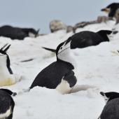 Chinstrap penguin. Nesting in the snow, keeping an eye on a skua that was flying above. Robert Island, Antarctica, December 2015. Image © Cyril Vathelet by Cyril Vathelet