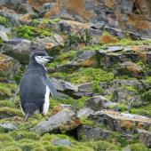 Chinstrap penguin. Adult . Hannah Point, Livingston Island, South Shetland Islands, January 2015. Image © Edin Whitehead by Edin Whitehead www.edinz.com