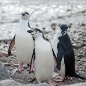 Chinstrap penguin. Three adults . Neko Harbour, Antarctic Peninsula, January 2015. Image © Edin Whitehead by Edin Whitehead www.edinz.com