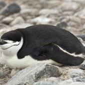 Chinstrap penguin. Adult lying down. Hardy Cove, South Shetland Islands, January 2016. Image © Rebecca Bowater  by Rebecca Bowater FPSNZ AFIAP www.floraandfauna.co.nz