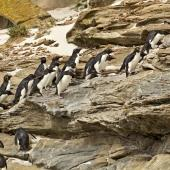 Western rockhopper penguin. Adults hopping up cliff face from the sea to colony. Saunders Island, Falkland Islands, January 2016. Image © Rebecca Bowater  by Rebecca Bowater FPSNZ AFIAP www.floraandfauna.co.nz