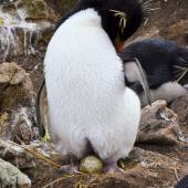 Western rockhopper penguin. Adult with egg. New Island, Falkland Islands, December 2015. Image © Cyril Vathelet by Cyril Vathelet