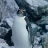 Eastern rockhopper penguin. Front profile view of juvenile . Mount Dumas, Campbell Island, September 1962. Image © Department of Conservation ( image ref: 10044282 )  by Alan Wright Department of Conservation  Courtesy of Department of Conservation