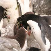 Eastern rockhopper penguin. Adult feeding chick . Campbell Island, January 2008. Image © Department of Conservation ( image ref: 10067712 ) by Andrew Maloney Department of Conservation  Courtesy of Department of Conservation