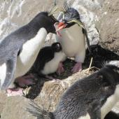 Eastern rockhopper penguin. Pair greeting, with chick. Campbell Island, December 2010. Image © Kyle Morrison by Kyle Morrison
