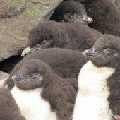 Eastern rockhopper penguin. Chicks in a creche. Campbell Island, January 2011. Image © Kyle Morrison by Kyle Morrison