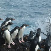 Eastern rockhopper penguin. Adults gathering at water's edge. Campbell Island, December 2011. Image © Kyle Morrison by Kyle Morrison