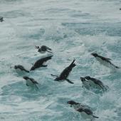 Eastern rockhopper penguin. Adult flock porpoising at sea. Campbell Island, January 2012. Image © Kyle Morrison by Kyle Morrison