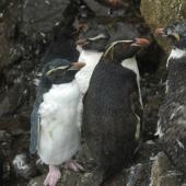 Eastern rockhopper penguin. Subadults moulting. Campbell Island, January 2012. Image © Kyle Morrison by Kyle Morrison