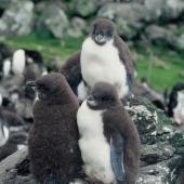 Eastern rockhopper penguin. Downy chicks. Penguin Bay, Campbell Island, January 1993. Image © Alan Tennyson by Alan Tennyson
