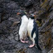 Eastern rockhopper penguin. Two adults on landing rocks. Wireless Hill, Macquarie Island, January 2018. Image © Mark Lethlean by Mark Lethlean