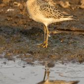 Buff-breasted sandpiper. Fall-plumaged bird on its way south. Manhattan,  Kansas,  USA, September 2017. Image © David Rintoul by David Rintoul