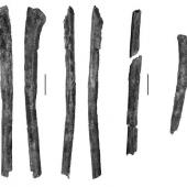 Love's Paleocene seabird. Proximal right ulna (left 4 images), partial radius and partial right scapula (all part of holotype CM 2010.108.2). Scale bars = 10 mm. Waipara River, Canterbury. Image © Cantrbury Museum by Kyle Davis