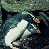 Fiordland crested penguin. Adult pair at nest . Fiordland. Image © Department of Conservation ( image ref: 10028800 ) by Allan Munn Courtesy of Department of Conservation