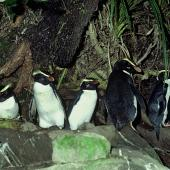 Fiordland crested penguin. Adult group at night. Jackson Head colony, Jackson Bay, Fiordland, August 1978. Image © Department of Conservation ( image ref: 10028235 ) by Rod Morris Courtesy of Department of Conservation