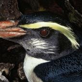 Fiordland crested penguin. Close view of adult head. Codfish Island, August 1996. Image © Department of Conservation ( image ref: 10051195 ) by Ros Cole Courtesy of Department of Conservation