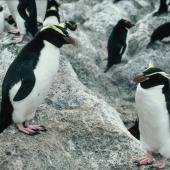 Fiordland crested penguin. Adult female (left) standing next to adult Snares crested penguin. Snares Islands, November 1986. Image © Colin Miskelly by Colin Miskelly