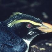 Fiordland crested penguin. Close view of adult head. Taumaka, Open Bay Islands, August 1985. Image © Colin Miskelly by Colin Miskelly