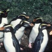 Fiordland crested penguin. Breeding adults. Taumaka, Open Bay Islands, South Westland, August 1985. Image © Colin Miskelly by Colin Miskelly