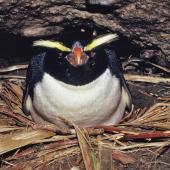 Fiordland crested penguin. Incubating adult on nest. Open Bay Islands, August 1986. Image © Alan Tennyson by Alan Tennyson