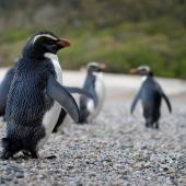 Fiordland crested penguin. Adult group walking on beach. South Westland, October 2010. Image © Craig McKenzie by Craig McKenzie