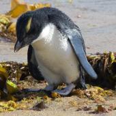 Fiordland crested penguin. Recently fledged juvenile. Halfmoon Bay, Stewart Island, January 2012. Image © Peter Tait by Peter Tait Courtesy Peter Tait http://www.sailsashore.co.nz, tait@sailsashore.co.nz