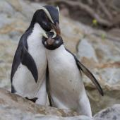 Fiordland crested penguin. Two adults interacting. South Westland, November 2011. Image © Glenda Rees by Glenda Rees http://www.flickr.com/photos/nzsamphotofanatic/