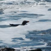 Fiordland crested penguin. Adult in surf. Near Knights Point Haast, October 2012. Image © Udo Benecke by Udo Benecke