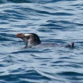 Fiordland crested penguin. Adult swimming. Stewart Island, November 2012. Image © Joke Baars by Joke Baars