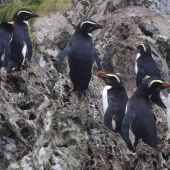 Fiordland crested penguin. One juvenile (left) and seven adults on landing rocks. Poison Bay, Fiordland, November 2020. Image © Colin Miskelly by Colin Miskelly