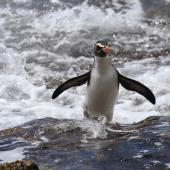Fiordland crested penguin. Adult arriving on shore. Taumaka, Open Bay Islands, October 2017. Image © Tim Poupart by Tim Poupart
