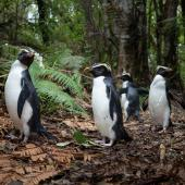 Fiordland crested penguin. Adults returning to burrows through forest. Between Haast and Lake Moeraki, October 2014. Image © Douglas Gimesy by Douglas Gimesy www.gimesy.com