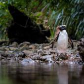 Fiordland crested penguin. Adult returning up stream to burrow. Inland stream off coast, south of Haast, October 2014. Image © Douglas Gimesy by Douglas Gimesy www.gimesy.com