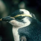 Snares crested penguin. Partial albino chick close to fledging. North East Island, Snares Islands, February 1983. Image © Colin Miskelly by Colin Miskelly